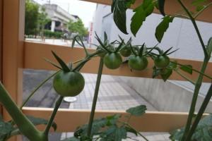 6月16日トマト